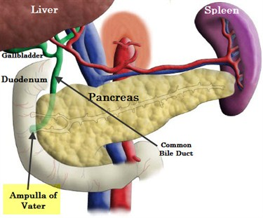 Hepatobiliary Amp Pancreatic Surgery Ampullary Cancer